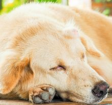 know about Cancer in Golden retrievers